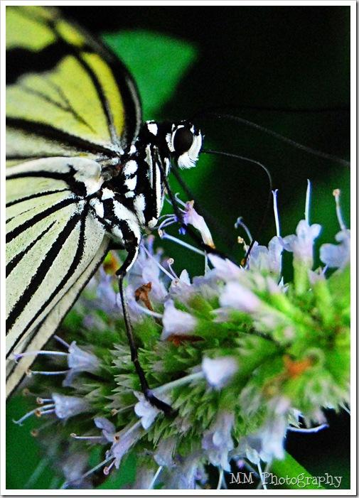 butterfly111