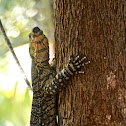 Lace Monitor (Goanna)