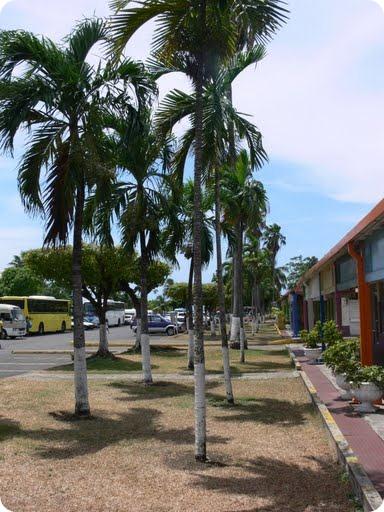 Palm trees Ochie