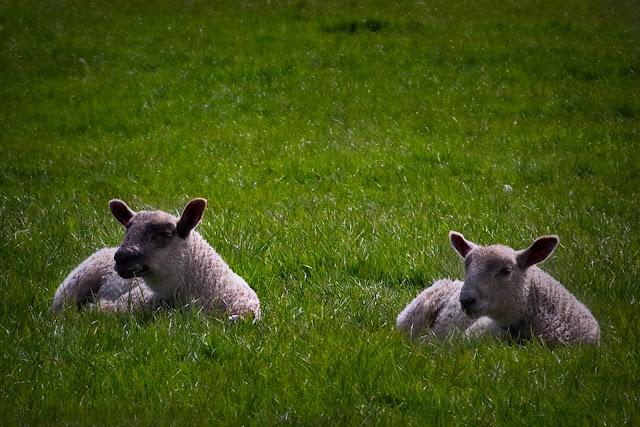 lambs-1.jpg