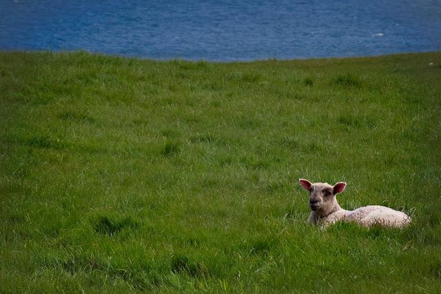 lambs-2.jpg