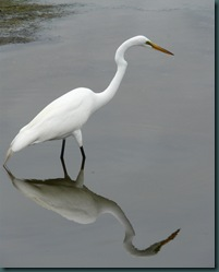 great egret reflect