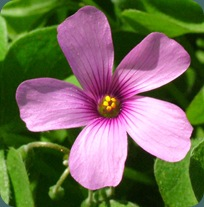 violet wood sorrel oxalis violacea (2)
