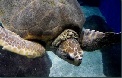 sea turtle (4)