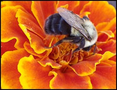 bee-marigold0710 (6)