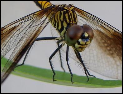 dragonfly eye0710 (2)