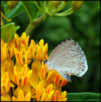 white-butterfly4-0610