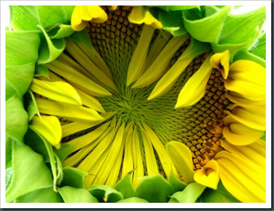 sunflower half open0731 (7)