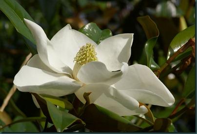 magnolia13 0607