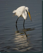 great egret reflects7 0607 edit