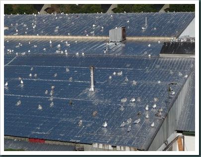 gulls on roof (2)