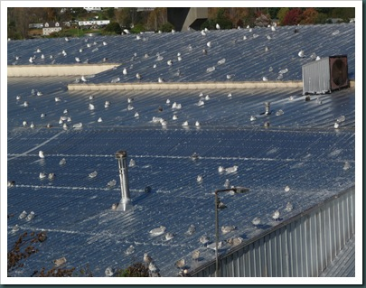 gulls on roof (1)