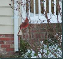 male cardinal1210 (2)