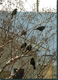 starlings treed1210 (1)