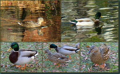 duck couple collage