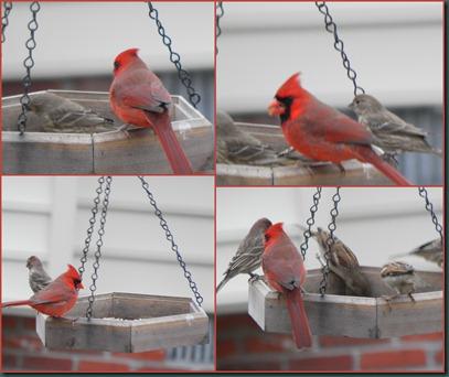 cardinal collage