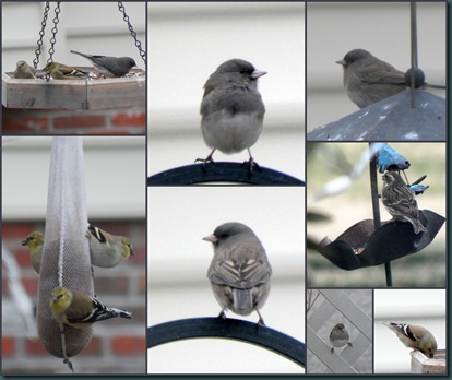 finches-juncos collage