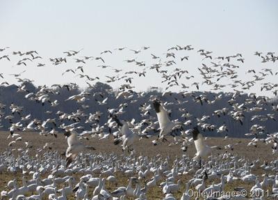 020611 snow geese (4)