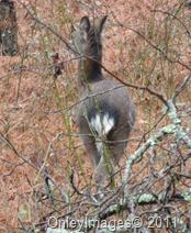 sila deer020511 (1)