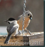 tufted titmouse021511 (1)