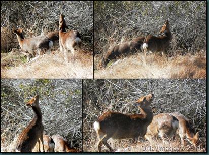 deer collage2 031911