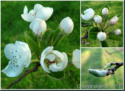pear blossoms collage0407