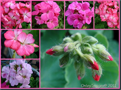 geranium collage0502