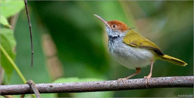 DN tailorbird