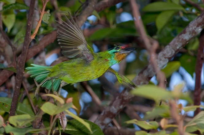 Black Browed Barbet1