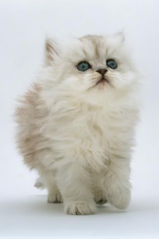 Fluffy Kitten Desktop iPhone Wallpaper
