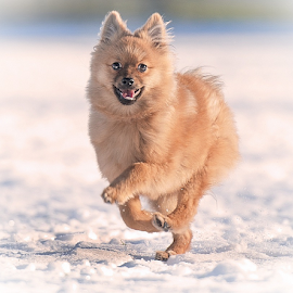 by Michael  M Sweeney - Animals - Dogs Running ( natural light, snow, puppy, michael m sweeney, nikon, run )