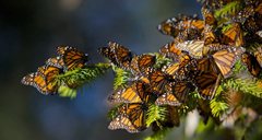 butterflies_wallpaper