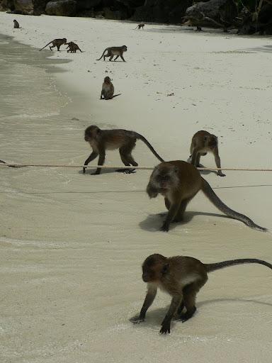 جزیره ی میمون ها - پوکت - تایلند