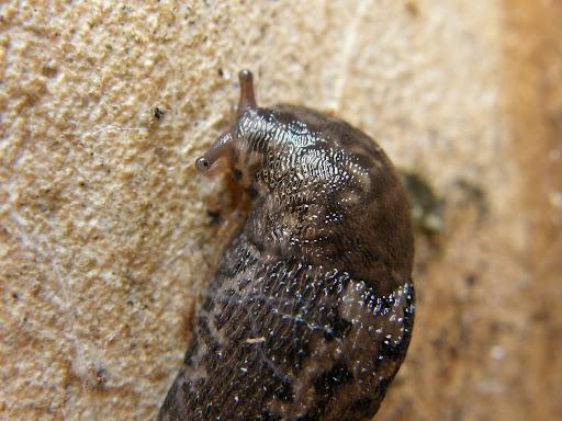 Slugs, with no external shell, foltos szántóföldi meztelencsiga (Deroceras reticulatum) csórécsiga, csupaszcsiga, pucércsiga, meztelen csiga, házatlan csiga, Budapest blog, photostock, stock images, photos for sale, eladó képek, fotók, fényképek