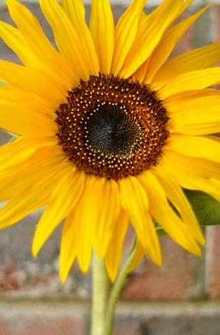 sunfloweronbrick