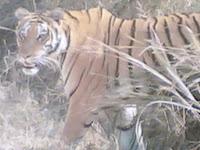Kanha Tiger3#1.jpg