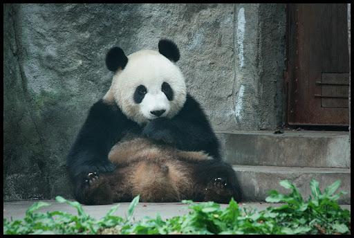 typowa poza pandy