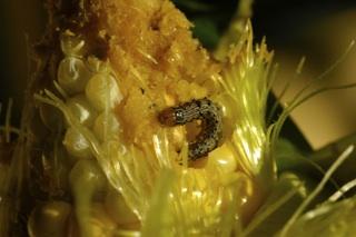 cornworm.jpg