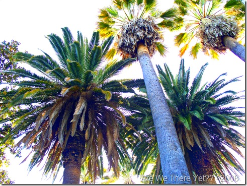Stockton Palm Trees