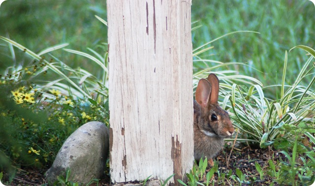 rabbit peeping from post