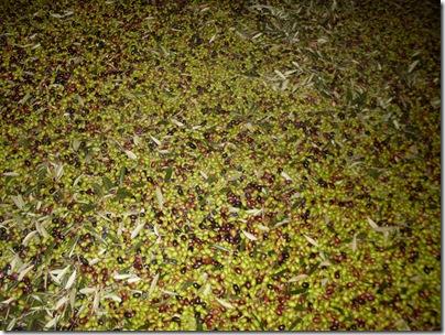 olive al frantoio di Limone