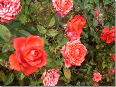 Un cespuglio di rose nel parco del Leon d'Oro
