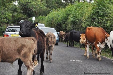 Mucche e tori lungo la New ForestDSC_0918