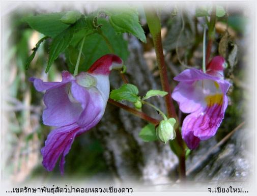 La Flor Perico