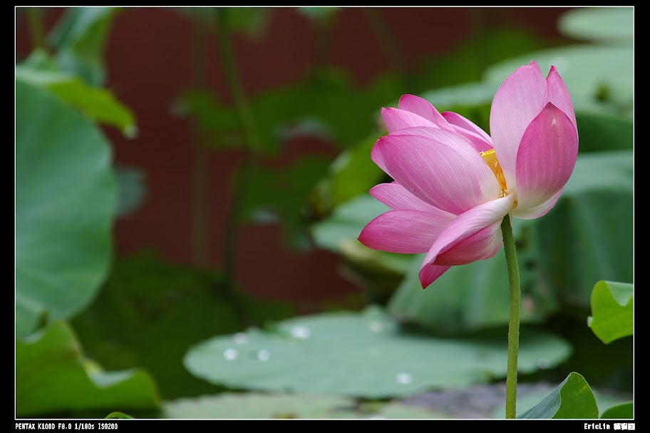荷,雨天,植物園