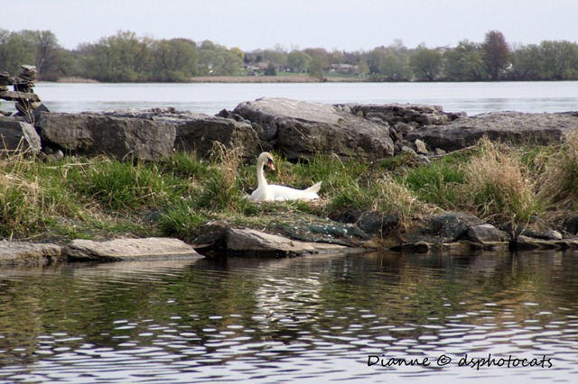 IMG_7470 Nesting Swan