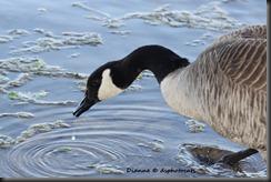 IMG_8010 Canada Goose