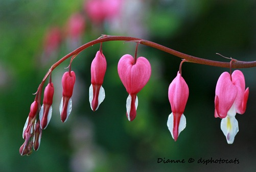 IMG_5501 Bleeding Hearts