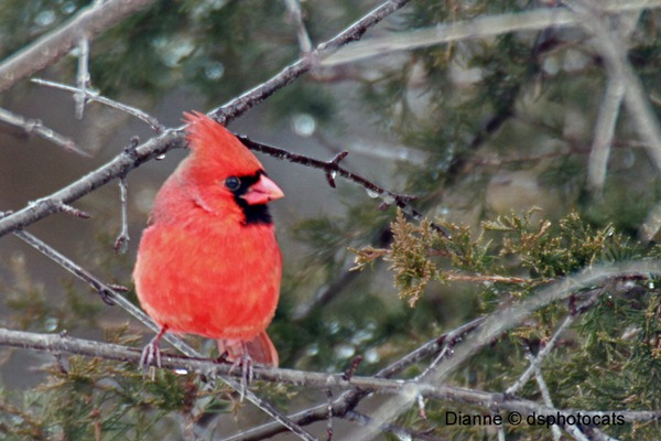 IMG_1806_Male Cardinal copy