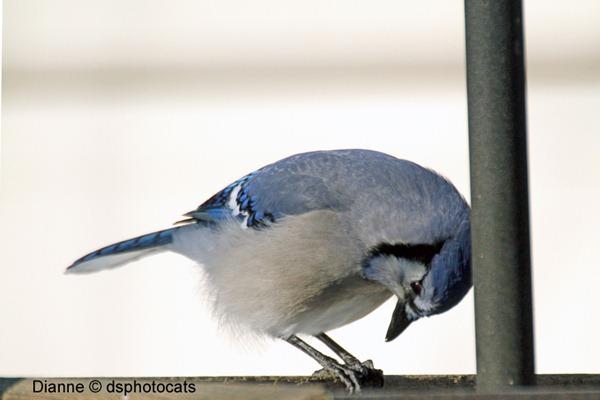 IMG_1633_Blue Jay